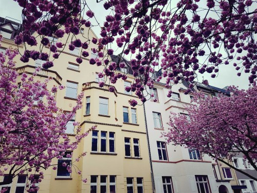 Kirschblüten in der Zietenstraße in Düsseldorf