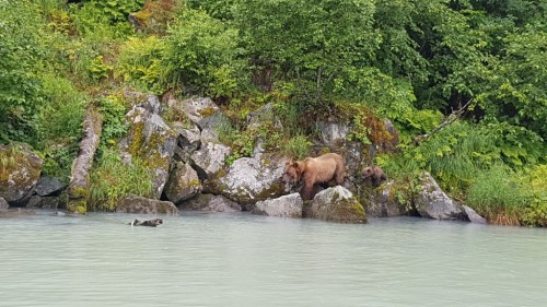 Alaska Highlight: Grizzly Bären sehen