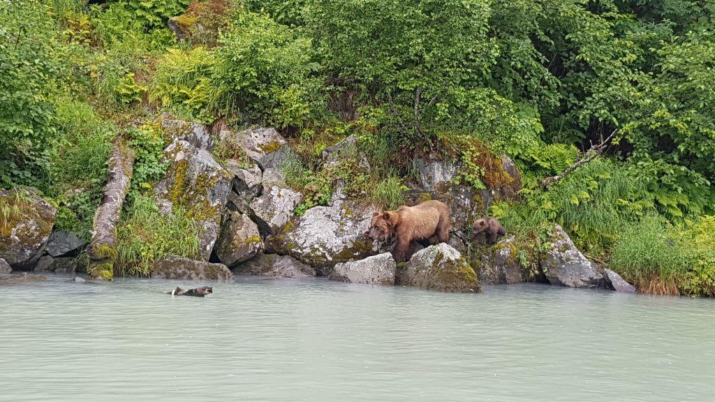 Alaska Highlight: Grizzly Bären sehen