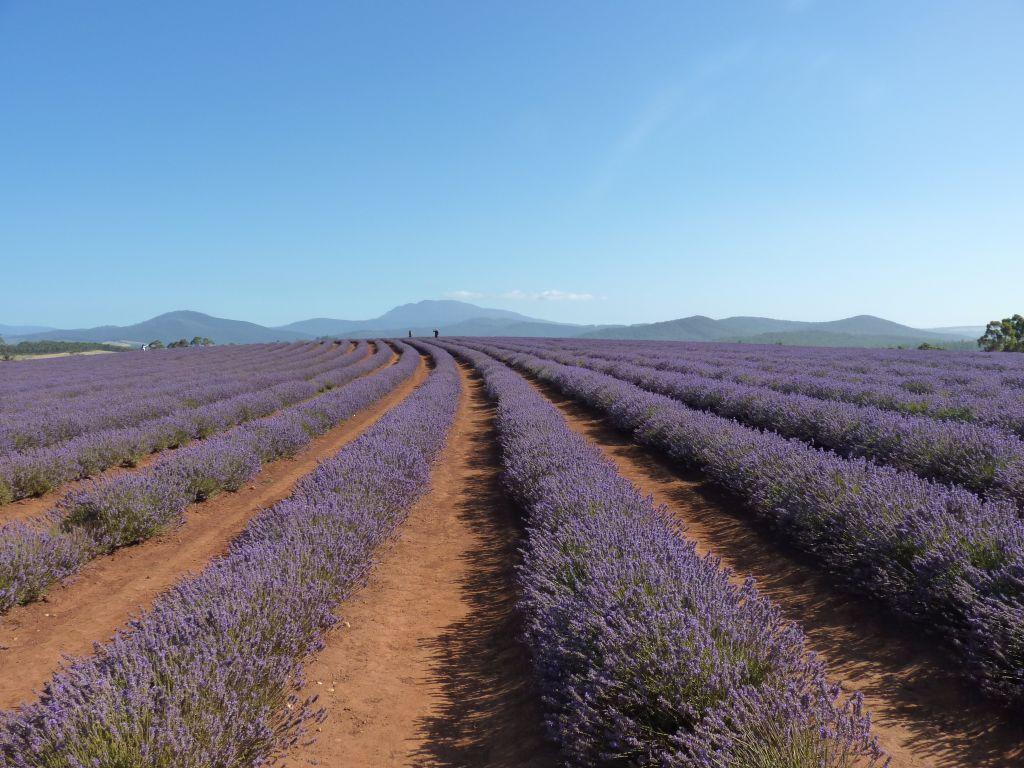 Tasmanische Lavendelfarm - Sehenswürdigkeiten in Tasmanien auf deiner Rundreise in Tasmanien