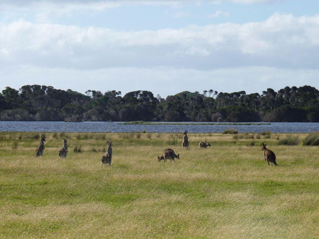 Wildlife im Narawntapu Nationalpark - Tasmanien-Sehenswürdigkeiten auf deiner Tasmanien-Rundreise