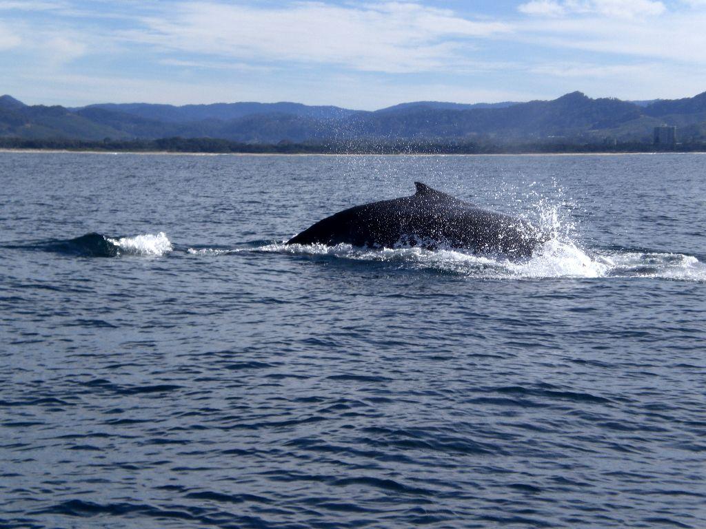 Whalewatching von Coffs Harbour - Sehenswürdigkeiten Australien Ostküste – Reiseroute Australien Ostküste im Überblick