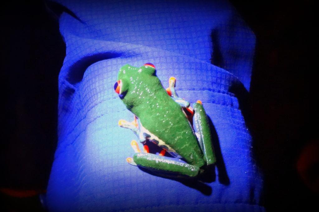 Frosch - Panama & Costa Rica in 3 Wochen - Reisebericht über Backpacking in Panama und Costa Rica