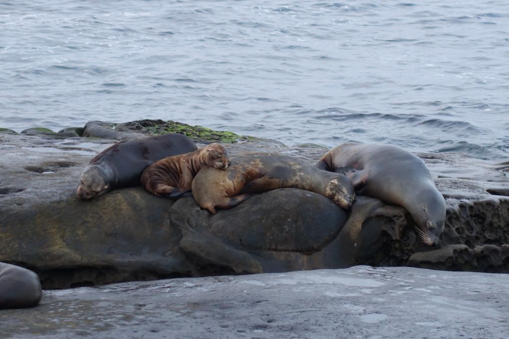 Seelöwen in La Jolla auf deiner Kalifornien-Rundreise