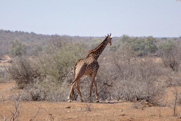 Giraffe im Krüger Nationalpark. Reisebericht über unsere Rundreise durch Südafrika in 3 Wochen.