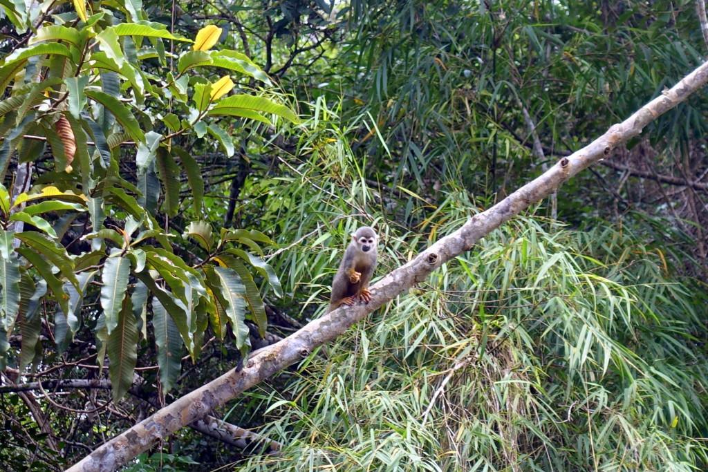 Affe bei unserer Amazonas-Tour in Peru