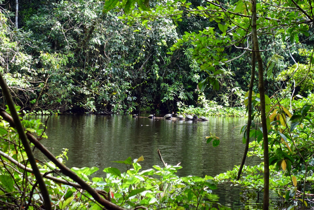 Schildkröten im Regenwald von Peru
