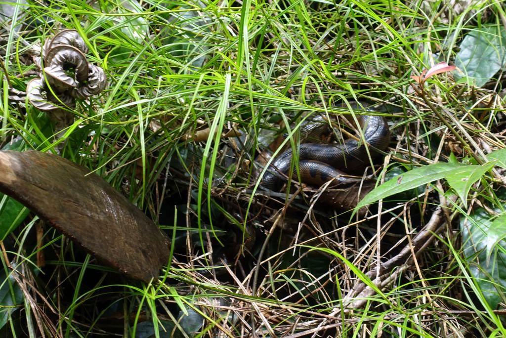 Anaconda-Schlange in Peru im Urwald