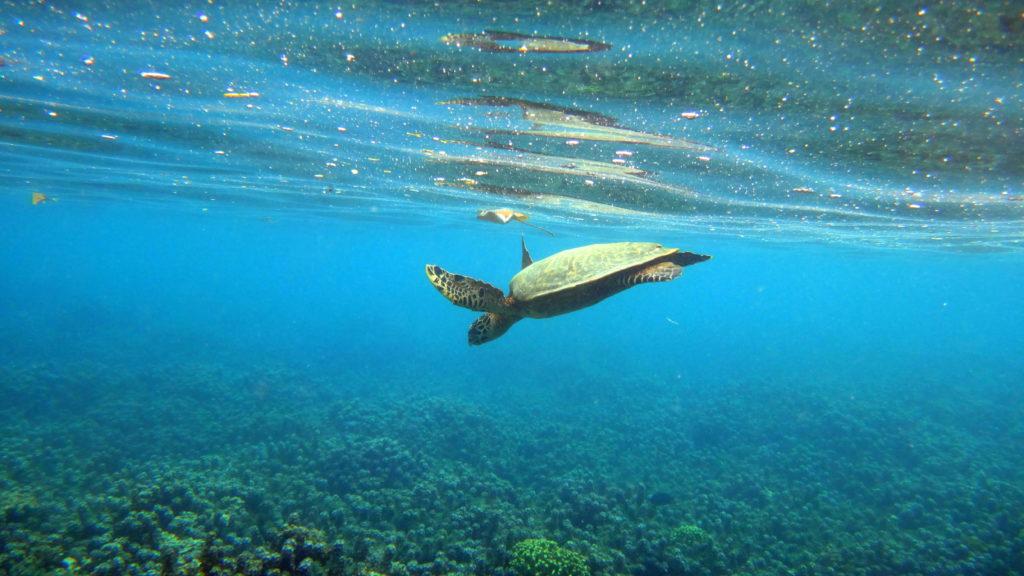 Schildkröte beim Schnorcheln auf Samoa - Samoa-Reisebericht und Sehenswürdigkeiten