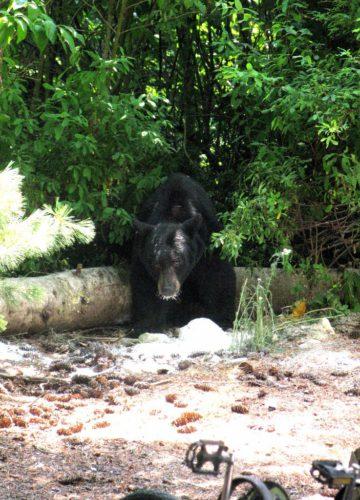 In Whistler sehen wir das erste mal einen Bär in freier Wildbahn. Der Bär kommt hier ganz in die Nähe eines Kiosk am Parkplatz, bevor er vom Ranger vertrieben wird.