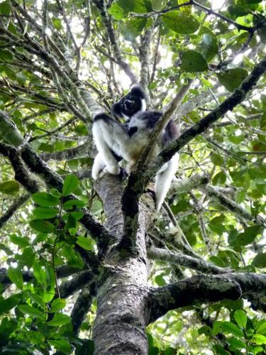 Tiere in Madagaskar - Indiri Lemur in Andasibe