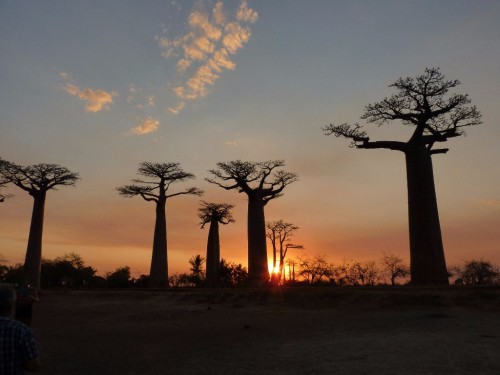 Baobab-Bäume bei Sonnenuntergang - Madagaskar Backpacking