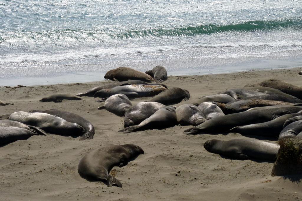 Seelöwen an der Küste Kalforniens auf deiner Rundreise an der Westküste der USA