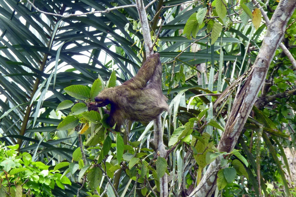 Faultier in Tortuguero - Panama & Costa Rica in 3 Wochen - Reisebericht über Backpacking in Panama und Costa Rica