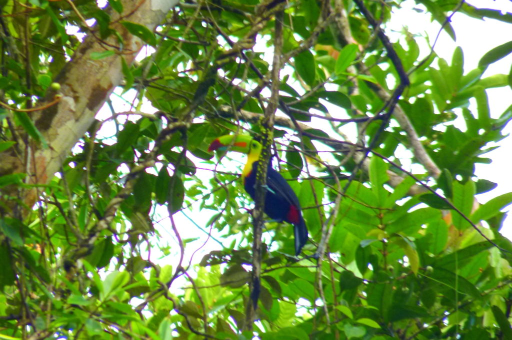 Tukan in Tortuguero - Panama & Costa Rica in 3 Wochen - Reisebericht über Backpacking in Panama und Costa Rica