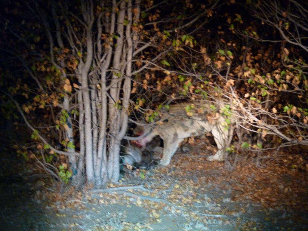 Ein Löwe frisst einen Büffel abends im Krüger Nationalpark