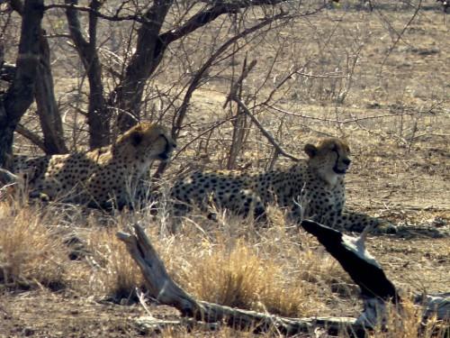 Reisebericht Krüger Nationalpark: Auf unserer Safari haben wir Geparden gesehen