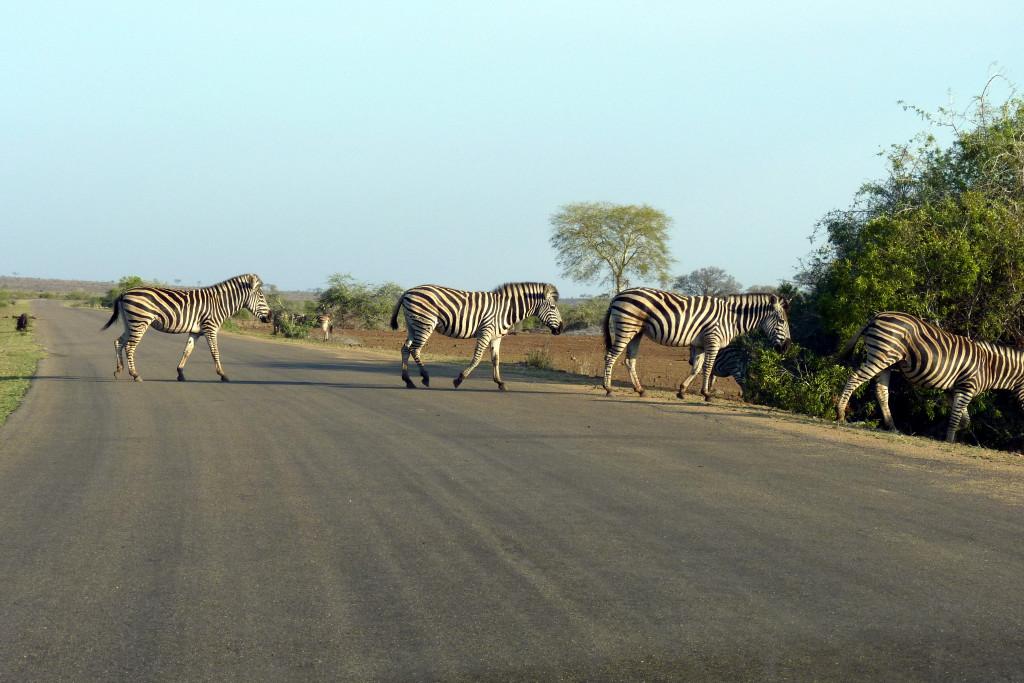 Zebras auf unserer Safari im Krüger Nationalpark - Reisebericht
