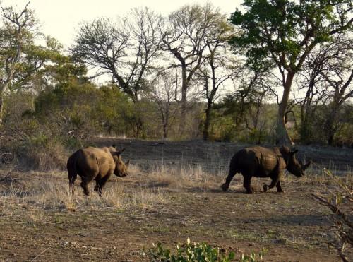 Nashörner auf unserer Safari im Krüger Nationalpark