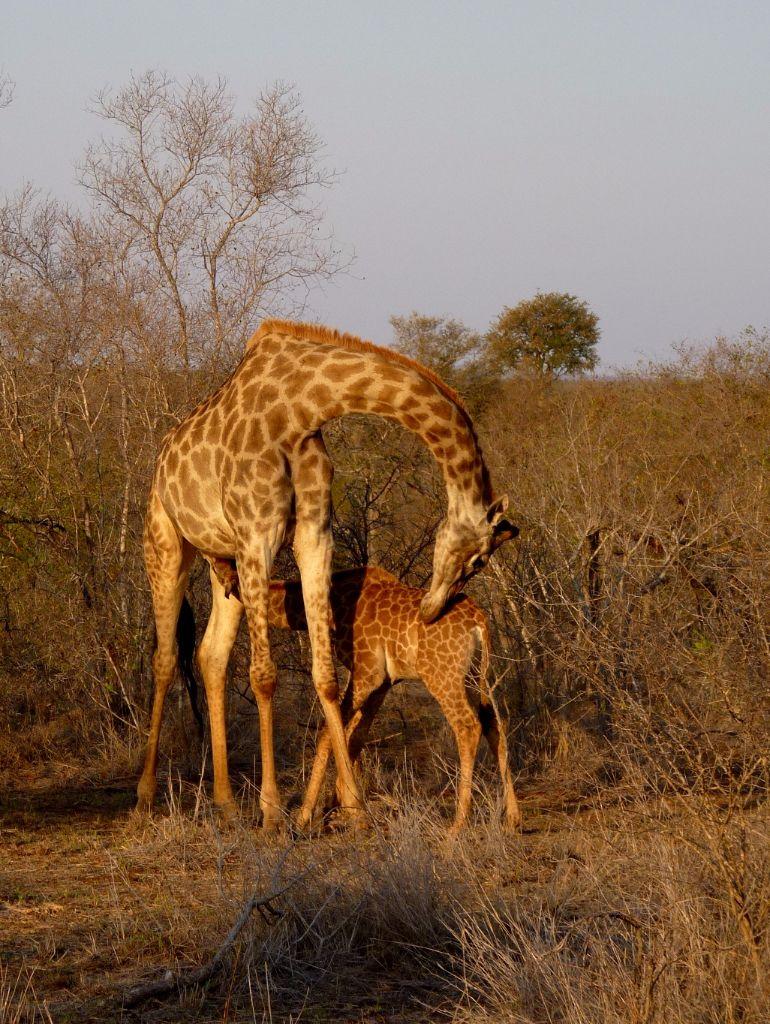 Giraffe mit Baby auf Safari im Krüger Nationalpark