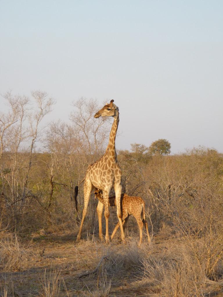 Giraffe mit Baby im Krüger Nationalpark - Erfahrungsbericht über Safari in Südafrika