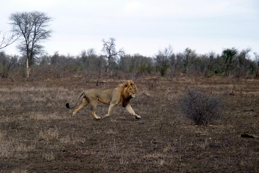 Löwe bei Safari im Krüger Nationalpark - Reisebericht