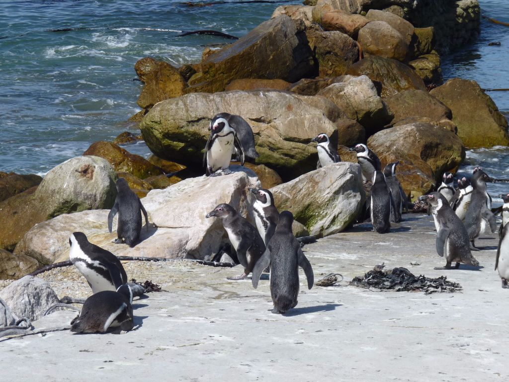 Highlights Garden Route: In Betty's Bay kann man Pinguine beobachten