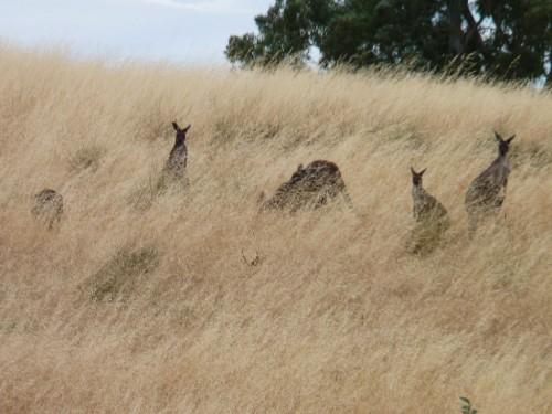 Kängurus im Südes Australiens bei unserem Australien-Roadtrip