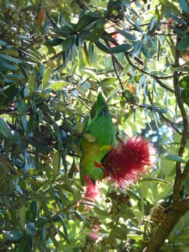 Bunte Papageinarten leben wild in Hobarts Botanischen Garten - Sightseeing und Sehenswürdigkeiten in Hobart & Tasmanien