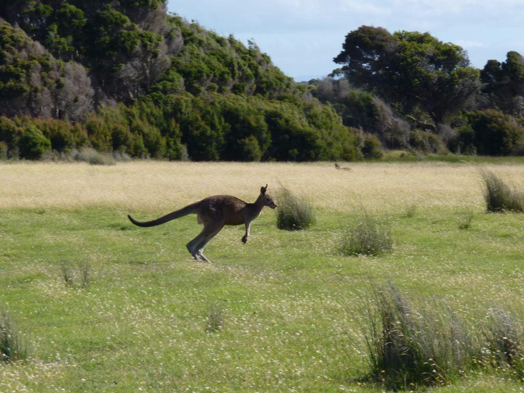 Känguru im Norden von Tasmanien, Australien