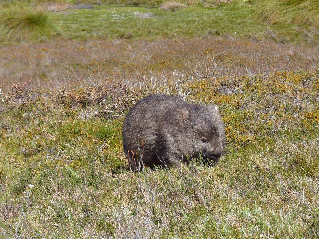 Wombat in freier Wildbahn im Cradle Mountain Nationalpark - Tasmanien-Sehenswürdigkeiten auf deiner Tasmanien-Rundreise