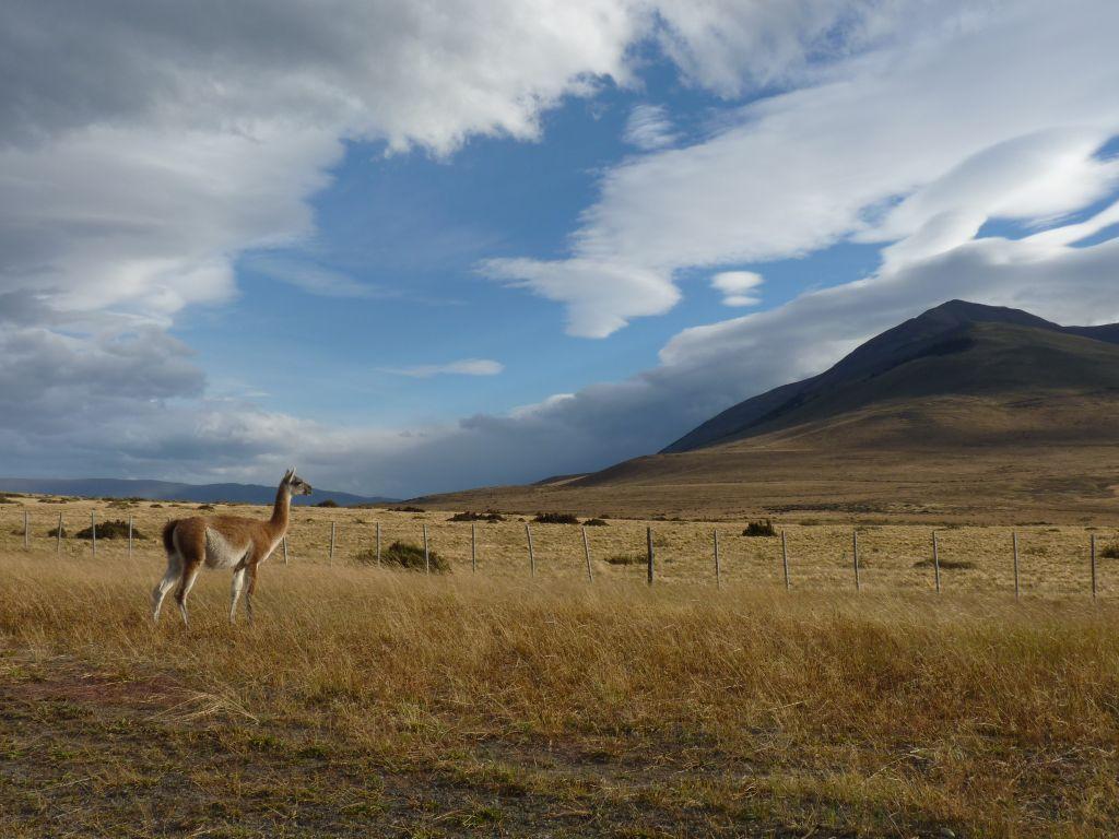 Lama in Patagonien im südlichen Chile