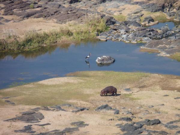 Südafrika_Krüger Nationalpark_Nilpferd_Hippo_Olifants Camp